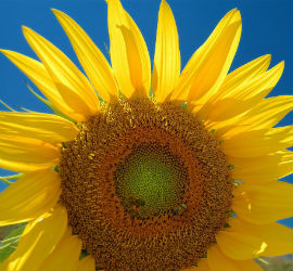 sunflowers_featured